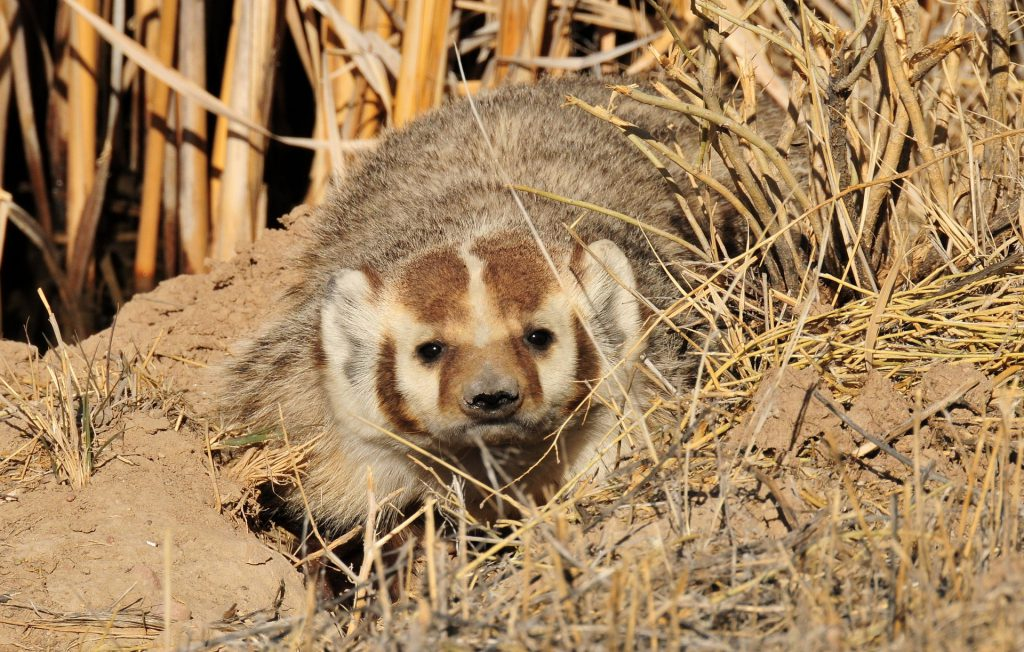 Headshot of a Badger and Not David Parter
